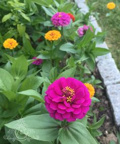 A happy bed of mixed #zinnia spilling over the stones lining the flower bed at Halcyon Farm.