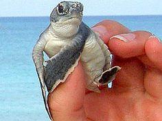 Cayman Island turtle farm - green hatchling