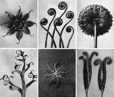 Karl Blossfeldt.  Sculptural and iconic, the floral images of Karl Blossfeldt (1865-1932) are familiar to many. Is it because of their timeless beauty, or simply because they're now in the public domain? Possibly a little of both. Blossfeldt was a self-taught photographer, guided by his love for plant life. Using a home-made camera, he was able to magnify his subjects in ways which preceded yet inform the macro photography of today.