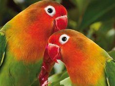 Agapornis roseicollis - Love birds