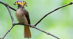 Onychorhynchus coronatus, royal flycatcher