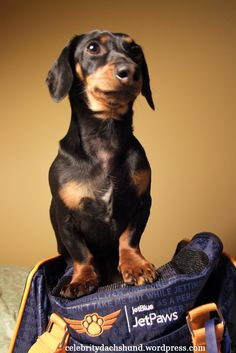 Image of: Maul Woman Here Is Me With My Carry Bag Which Got From The Jetblue Pet Program Called Jetpaws Pinterest 56 Beste Afbeeldingen Van Sausage Dogs Yeah Dachshund Dog