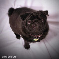 Some Helpful Ideas For Training Your Dog. Loving your dog does not mean you are willing to let him go hog wild on your possessions. That said, your dog doesn't feel the same way. Baby Pug Dog, Animals And Pets, Cute Animals, Baby Animals, Black Pug Puppies, Pug Pictures, Dog Photos, Pug Pics, Cute Pugs