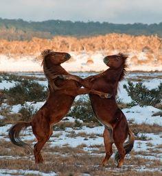 GREAT ACTION SHOT of duelling brumbies - Kosciuszko National Park, Australia - contributor Daniel Willans.