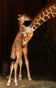 The first baby giraffe born at the Dallas Zoo in 24 years, (which was born on July 23, 2011).