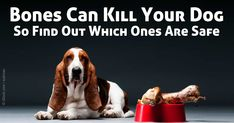 Choose safe chew bones for dogs and avoid the dangers of cooked bones. http://healthypets.mercola.com/sites/healthypets/archive/2010/05/19/caution-bones-can-kill-your-dog-find-out-which-ones-are-safe.aspx