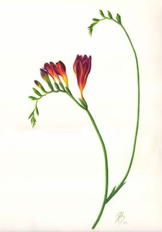 freezia paintings | biology of the people working for freesia scientific name freesia