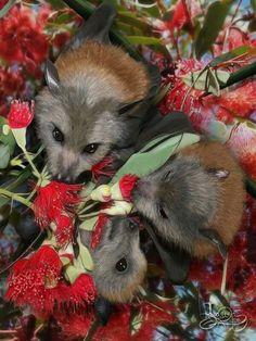 Grey-headed Flying Foxes and Eucalyptus flowers Beautiful Creatures, Animals Beautiful, Baby Animals, Cute Animals, Bat Flying, Arte Sailor Moon, Baby Bats, Fruit Bat, Cute Bat