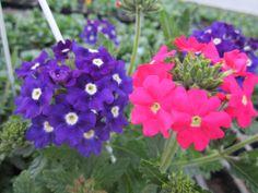 Verbena 'Samira Blue with Eye' ja 'Samira Bright Pink' Verbena, Bright Pink, Eye, Plants, Plant, Planets