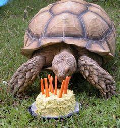 sulcata tortoise - Google Search