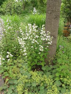 Nesselblättrige Glockenblume (Campanula trachelium var. alba)