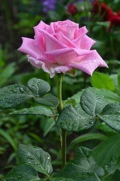 Beautiful Flowers Wallpapers, Beautiful Rose Flowers, Amazing Flowers, Pretty Flowers, Rose Flower Wallpaper, Flowers Gif, Flowers Nature, Rose Pictures, Flower Photos