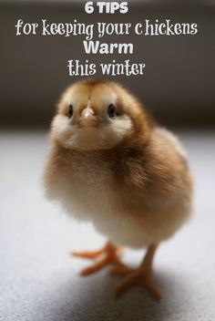 6 Tips for Keeping your chickens warm this winter | Backyard Chicken Project