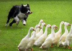 Mine tried to herd the geese and they never forgave him. As he got older and slower they tried to gang up on him. Gentle soul that he was, he never tried to retaliate.