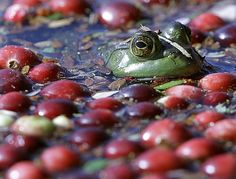 A frog floats with cranberries awaiting harvest on a cranberry bog in Wareham, Mass.