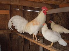 Thompson White Game Fowl With Hens