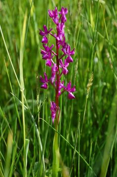 Anacamptis laxiflora, Loose-Flowered Orchid, Orchis à fleurs lâches, ラン科アナカンプティス属 May 2015