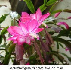 O Cacto Flor de maio