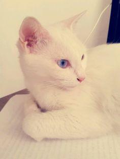 Moly una de mis gatitas #cat #littens #khaomanee #khaomane #ilovecats #ilovemycats #love #lovecats #bestanimal