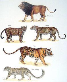 Lion, Jaguar, Leopard, Tiger, Snow Leopard Vintage 1984 Jungle Cats Book Plate