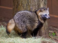 A raccoon dog.  Two of my favorite animals together.  Strange how many animals I've never heard of.