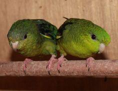 green lineolated parakeets