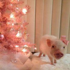Priscilla the pig