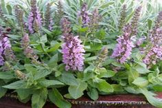 Garden Sage in Bloom Sage Plant, Drought Resistant Plants, Plant Information, Salvia, Herb Garden, Life Is Good, Bloom, Herbs, Rose