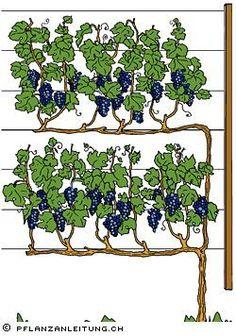 pflanzanleitu… Grape vines vines are climatically demanding plants.pflanzanleitu… Grape vines vines are … Grape Vine Trellis, Grape Vines, Fruit Garden, Edible Garden, Garden Plants, Espalier Fruit Trees, Plantas Bonsai, Vertical Garden Design, Vegetable Garden Design