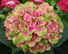 hydrangea | Hydrangea macrophylla 'Hokomathyst' Everlasting™ Amethyst PP# 22261
