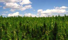 pictures of hemp field | Hemp-field-in-France-008.jpg