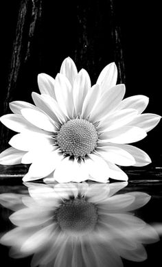 Black and white daisy captured by Ansel Adams in This photo shows the flowers texture and has a hint of depth of field incorporated.>>> i love ansel adams' photos Landscape Photography, Nature Photography, Photography Ideas, Photography Flowers, Ansel Adams Photography, Reflection Photography, Photography Portraits, Underwater Photography, Animal Photography