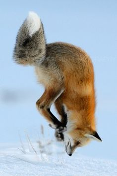 """Almost the perfect Red Fox pounce shot!"" (Richard Peters) Fox trying to catch a mouse."