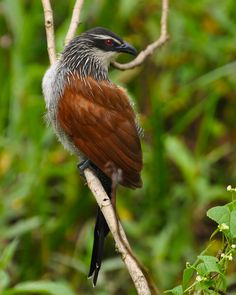 White-browed Coucal   by Alexander Yates