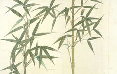 Drawing of a bamboo in Japan from our V&A Museum collection.  http://www.surfaceview.co.uk/collection/galleries-museums/victoria-and-albert