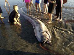 California, 'pesce remo' gigante spiaggiato: la seconda volta in una settimana Per la seconda volta in meno di una settimana, un 'pesce remo' gigante, descritto anche come un serpente marino, si è arenato lungo la costa della California del sud. Lungo quasi quattro metri, il rarissimo esemplare è stato sezionato ed è nelle mani dei ricercatori del Catalina