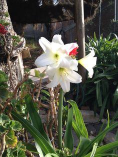 Aeonio morado y madre perla suculentas jard n flores for Azucena plantas jardin