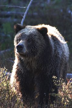 GRIZZLY BEAR in Sheepeaters Cliff area, YELLOWSTONE NATIONAL PARK.  Tips on driving with care in national parks.   Recent death of a young bear in a car collision in Grand Tetons National Park has National Park Service asking for extra vigilance on park roads.  Safety tips and a slideshow with views of wildlife in parks, both in challenging proximities to humans and vehicles plus in natural settings:  www.examiner.com/...