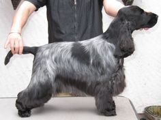 cocker spaniel haircuts - Google Search