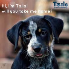 would you take her home? meet #DFspa adoptable model Talia! this 2 month old Australian Cattle Dog/Great Pyrenees is waiting for her forever home at TAILS Humane Society! learn more about this princess here: http://www.petango.com/Adopt/Dog-Australian-Cattle-Dog-Great-Pyrenees-20619179