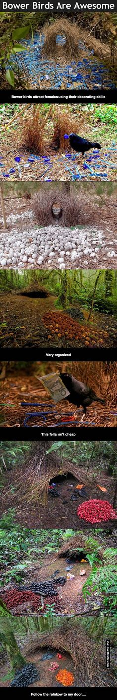 Bower Birds Are Awesome Pictures, Photos, and Images for Facebook, Tumblr, Pinterest, and Twitter
