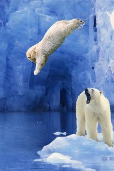 There are so many amazing things about this photo: the blue ice in the background, blue water, and then the amazing polar bears; one of which is shown diving into the water!