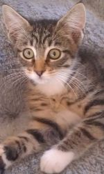 Adele is an adoptable Tabby - Brown Cat in Bessemer, AL. The Humane Society of West Alabama's cat adoption center at 1515 Veterans Memorial Pkwy is open Saturdays from 10:00 a.m. until 2:00 p.m. Appoi...