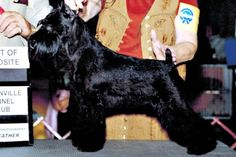 Black Mini Schnauzer. One of only three colors recognized by the AKC.