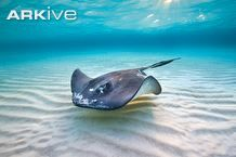 Southern stingray swimming in the waters surrounding Grand Cayman - View amazing North Atlantic islands photos on ARKive
