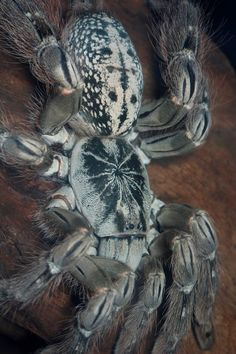 Heteroscodra maculata Cute Creatures, Beautiful Creatures, Spider Species, Spiders And Snakes, Les Reptiles, Cool Bugs, Itsy Bitsy Spider, Beautiful Bugs, Bugs And Insects
