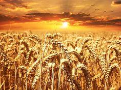 Weizenunverträglichkeit: Forscher suchen Ursachen und Grundlage für verträglichere Sorten. Lesen Sie zum Thema den Artikel im Seniorenblog: http://der-seniorenblog.de/produkte-senioren/verbraucherinfos-sonderangebote/ . Bild: CC0