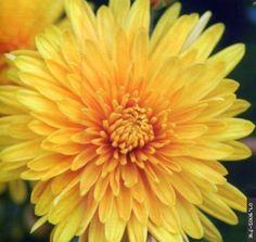 Хризантемы Фото 6..