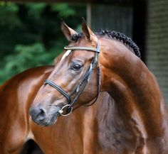 Dutch Warmblood Stallion - Arthos R