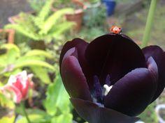 My black Tulip